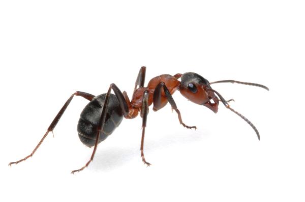 img_odorous_house_ant